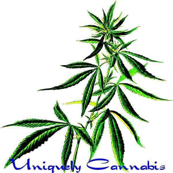 Graphic of Cannabis plant